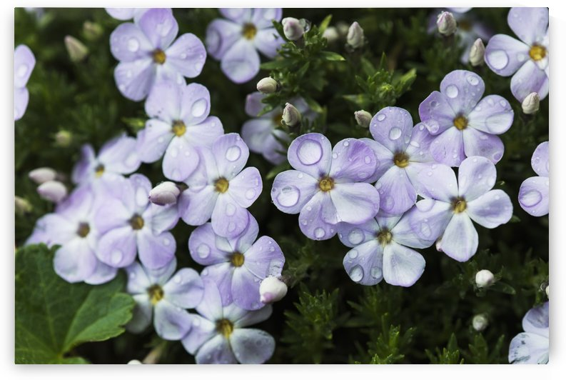 Rain falls onto Phlox blossoms; Hamlet, Oregon, United States of America by PacificStock
