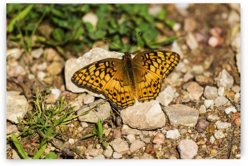 A Variegated Fritillary Butterfly (Euptoieta claudia) soaks up sunlight; Tahlequah, Oklahoma, United States of America by PacificStock
