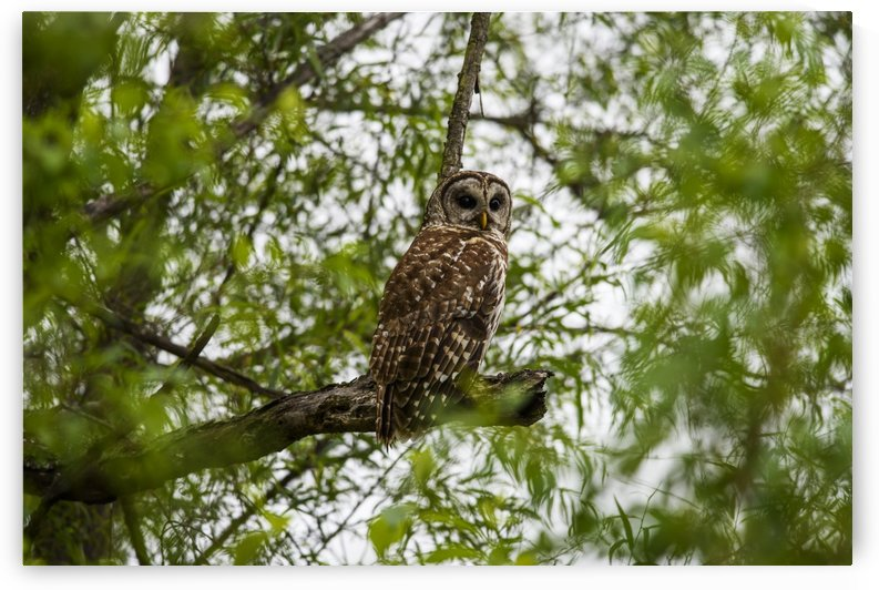 A Barred Owl (Strix varia) seeks prey among the willows; Vian, Oklahoma, United States of America by PacificStock
