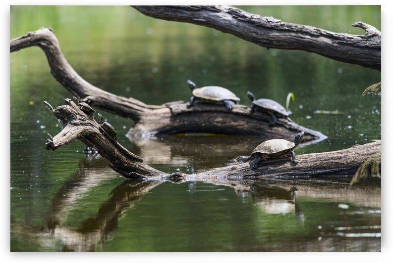 Painted turtles (Chrysemys picta) sunbathing on logs in a tranquil lake; Vian, Oklahoma, United States of America by PacificStock