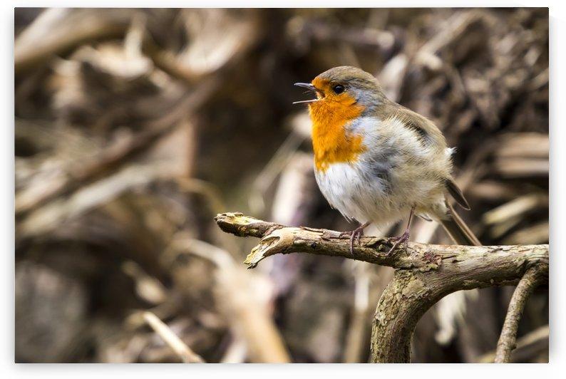 European robin (Erithacus rubecula) singing; Blarney, Munster, Ireland by PacificStock