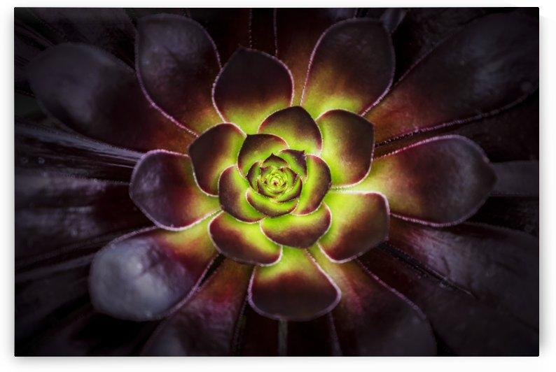 Purple and green Aeonium, Dublin Botanic Garden; Dublin, Leister, Ireland by PacificStock