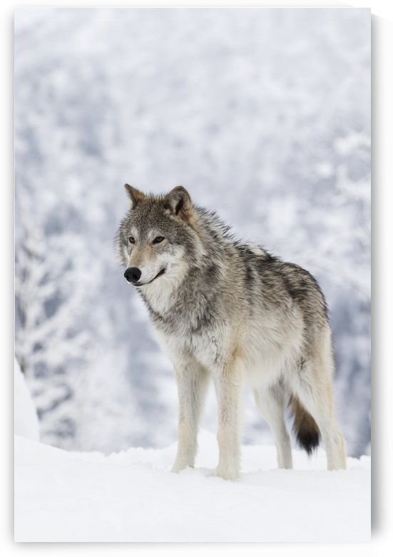 CAPTIVE: Female Tundra Wolf in snow, Alaska Wildlife Conservation Center, Southcentral Alaska by PacificStock