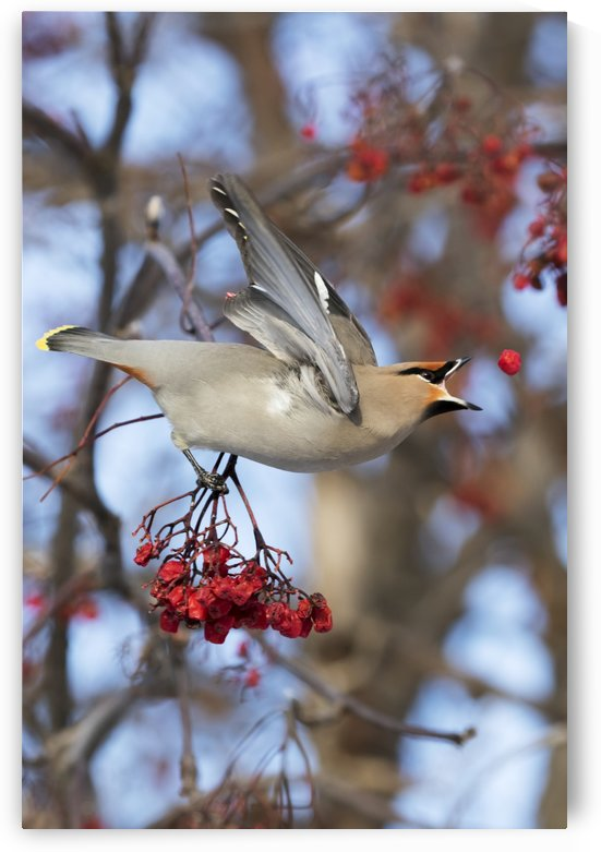 Bohemian Waxwing about to catch a falling Mountain Ash berry, Anchorage, Southcentral Alaska, winter by PacificStock