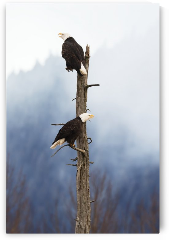 Adult bald eagles (Haliaeetus leucocephalus) perched on top of a dead tree, Portage Valley; Alaska, United States of America by PacificStock