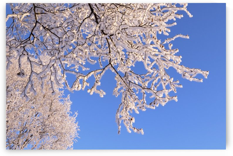 Hoar frosted tree branches against a blue sky; Anchorage, Alaska, United States of America by PacificStock