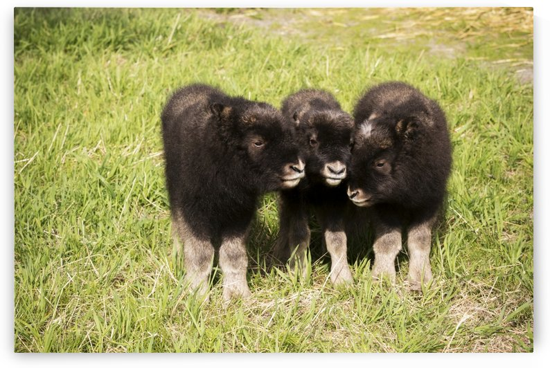 CAPTIVE: Three newborn calf musk ox stand together, Alaska Wildlife Conservation Center, Southcentral Alaska, summer by PacificStock