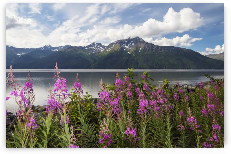 A colourful patch of fireweed (Chamerion angustifolium) stands between the Seward Highway and the the waters of Turnagain Arm, Kenai Mountains in background, South-central Alaska; Alaska, United States of America by PacificStock