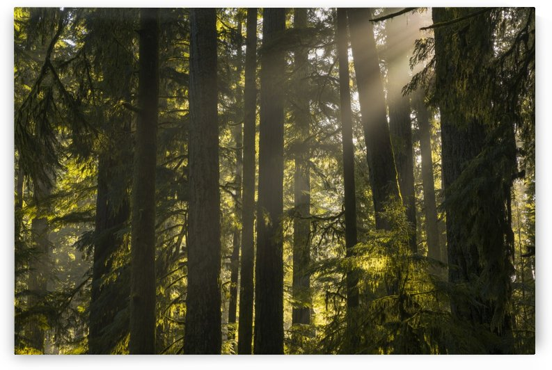 Cathedral Grove, MacMillan Provincial Park; British Columbia, Canada by PacificStock