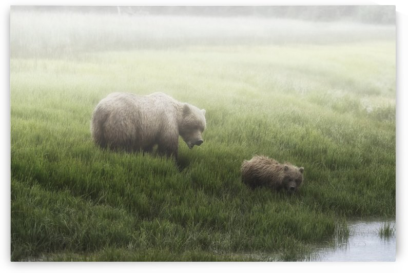 Alaska Peninsula Brown Bear (ursus arctos horribilis) and it's cub walking to the edge of a lake on a foggy morning, Lake Clark National Park; Alaska, United States of America by PacificStock