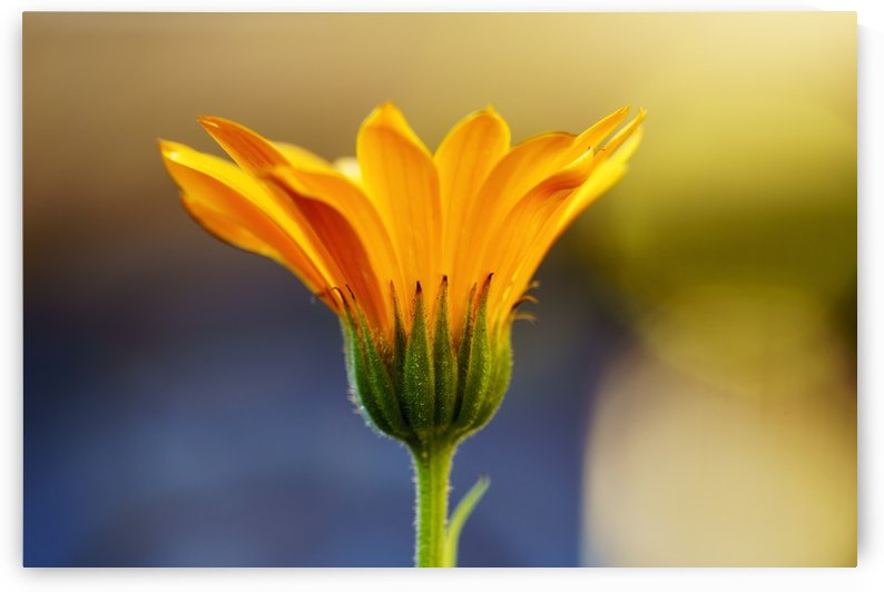 Close up of yellow flower blossoming; South Shields, Tyne and Wear, England by PacificStock