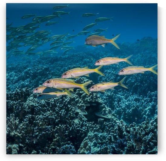 Yellowfin Goatfish (Mulloidichthys vanicolensis) schooled off the Kona coast; Kona, Island of Hawaii, Hawaii, United States of America by PacificStock