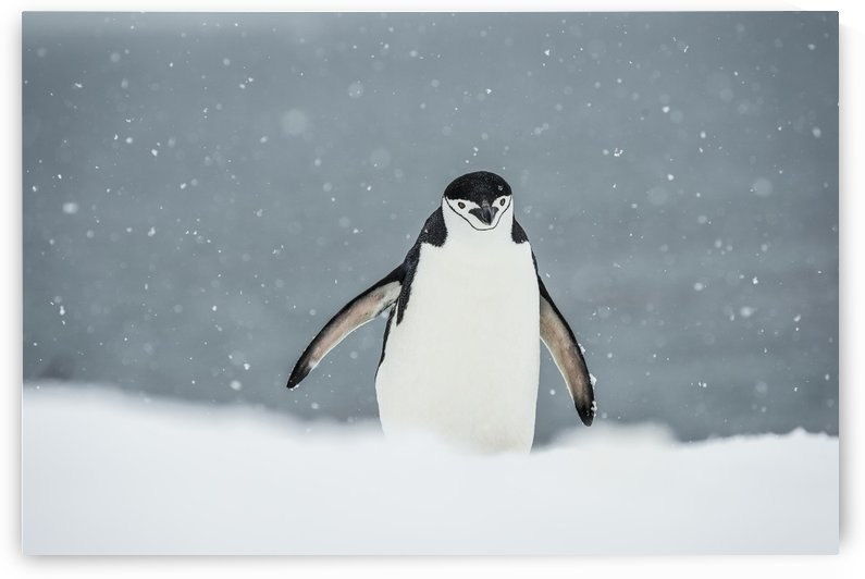 Chinstrap Penguin (Pygoscelis antarctica) in a snowfall; Half Moon Island, South Shetland Islands, Antarctica by PacificStock