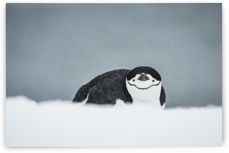 Chinstrap Penguin (Pygoscelis antarctica) on belly; Half Moon Island, South Shetland Islands, Antarctica by PacificStock