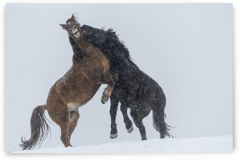 Wild horses (Equus ferus caballus) fighting; Turner Valley, Alberta, Canada by PacificStock