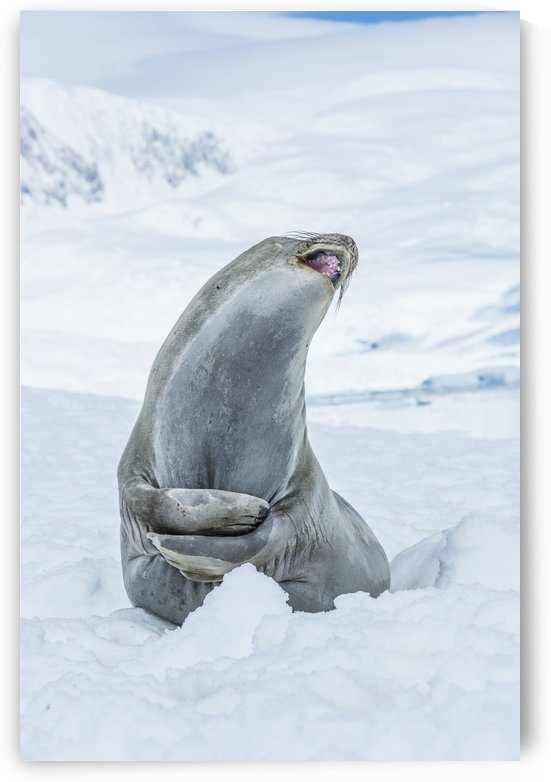 Southern Elephant Seal (Mirounga leonina) looking up with mouth open, Neko Harbour, Antarctic Peninsula; Antarctica by PacificStock