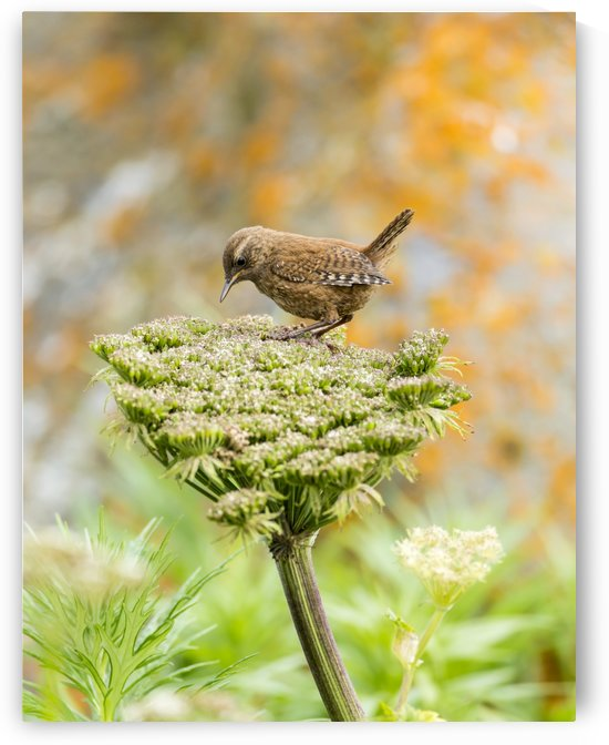 Pacific wren (Troglodytes pacificus) perched on wild celery on St. Paul Island in Southwest Alaska; St. Paul Island, Pribilof Islands, Alaska, United States of America by PacificStock