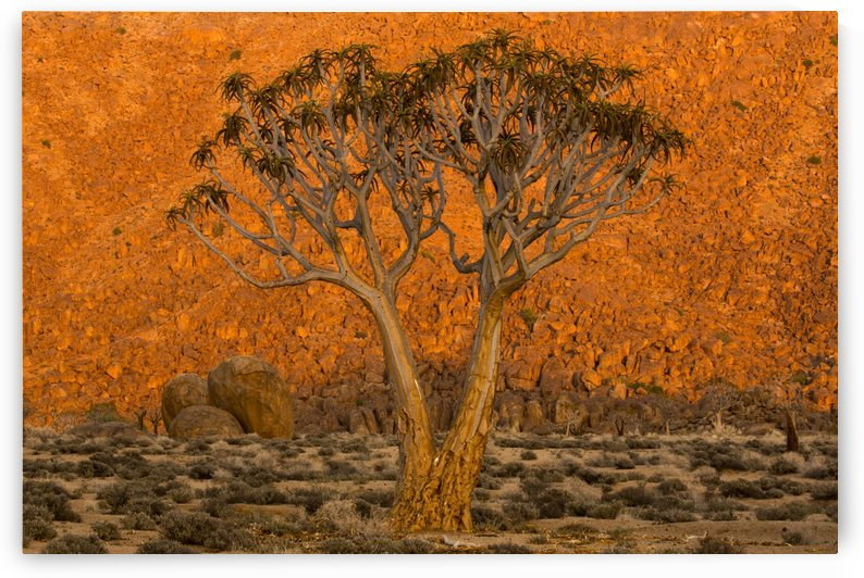 A Quiver tree, or Kokerboom, (Aloe Dichotoma) in Richtersveld National Park; South Africa by PacificStock