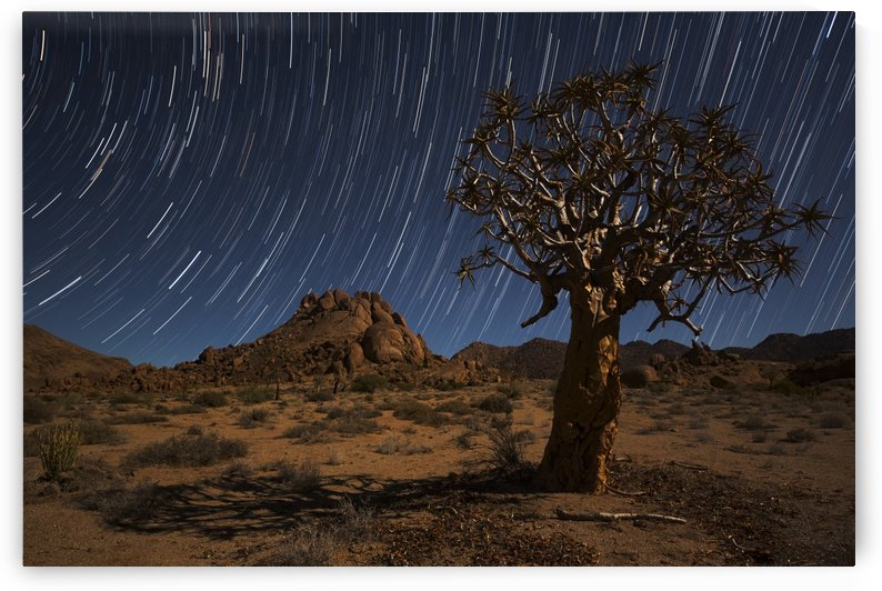 Star trails above a quiver tree (kokerboom or aloe dichotoma) in Richtersveld National Park; South Africa by PacificStock