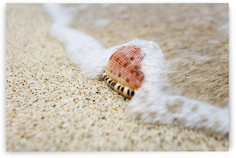 A close up of a cowry shell on the beach; St. Croix, Virgin Islands, United States of America by PacificStock