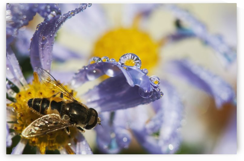 A Fly Rests On Aster Blossoms; Astoria, Oregon, United States Of America by PacificStock