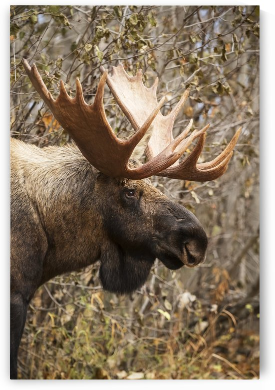 Close up of a bull moose at Powerline Pass in autumn, Anchorage, Southcentral Alaska USA  by PacificStock