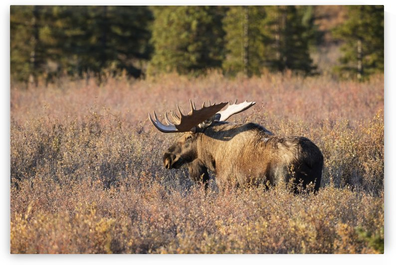 Bull moose in autumn foliage, Denali National Park and Preserve, Interior Alaska, USA by PacificStock