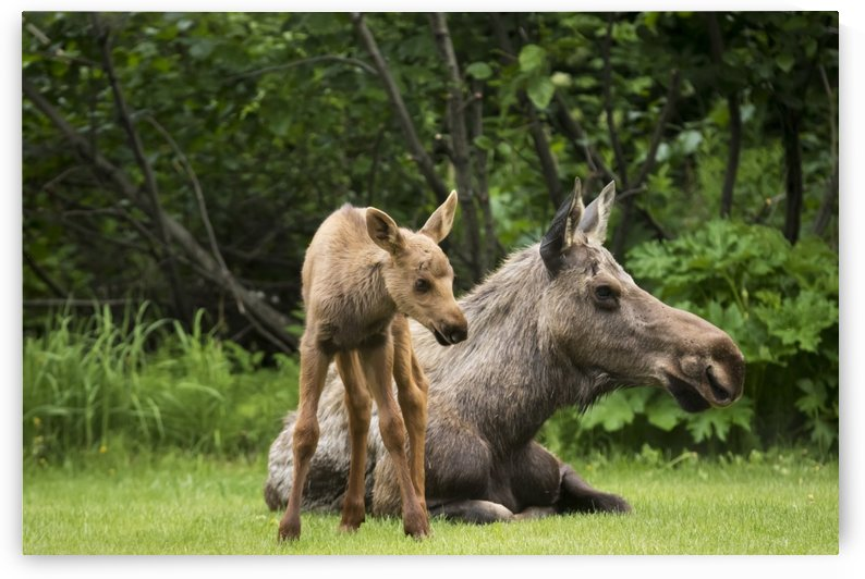 A cow moose (alces alces) relaxes on a lawn with her calf; Anchorage, Alaska, United States of America by PacificStock