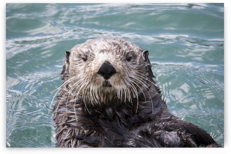 Sea Otter (Enhydra lutris) swims in Resurrection Bay near Seward small boat harbour, looking at the camera, south-central Alaska; Seward, Alaska, United States of America by PacificStock