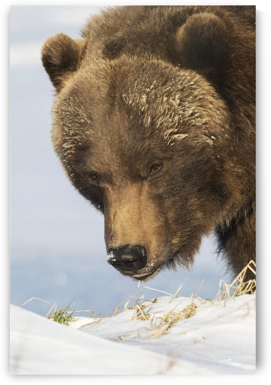 Close up of a brown bear (ursus arctos) in the snow, captive at the Alaska Wildlife Conservation Center; Portage, Alaska, United States of America by PacificStock