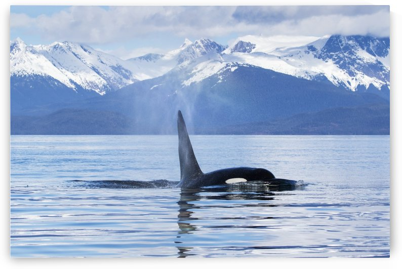 An Orca Whale (Killer Whale) (Orcinus orca) surfaces near Juneau, Lynn Canal, Chilkat Mountains, Inside Passage; Alaska, United States of America by PacificStock