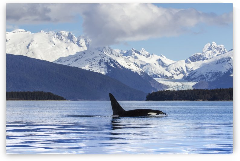 An Orca Whale (Killer Whale) (Orcinus orca) surfaces in Lynn Canal, Herbert Glacier, Inside Passage; Alaska, United States of America by PacificStock
