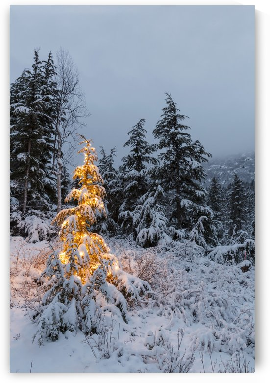 A festive Mountain Hemlock evergreen tree strung with white lights and covered in snow in a wintery landscape, Kenai Mountains; Moose Pass, Alaska, United States of America by PacificStock