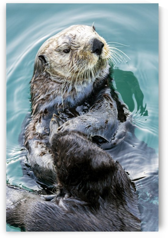 Sea Otter (Enhydra lutris) eating in Seward boat harbour on the Kenai Peninsula in South-central Alaska; Seward, Alaska, United States of America by PacificStock