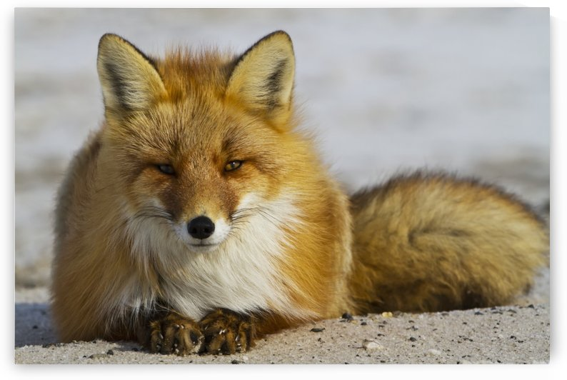 Red fox (Vulpes vulpes) resting on melting snow on Arctic tundra, early spring, Arctic coastal plain, North Slope, Northern Alaska; Alaska, United States of America by PacificStock