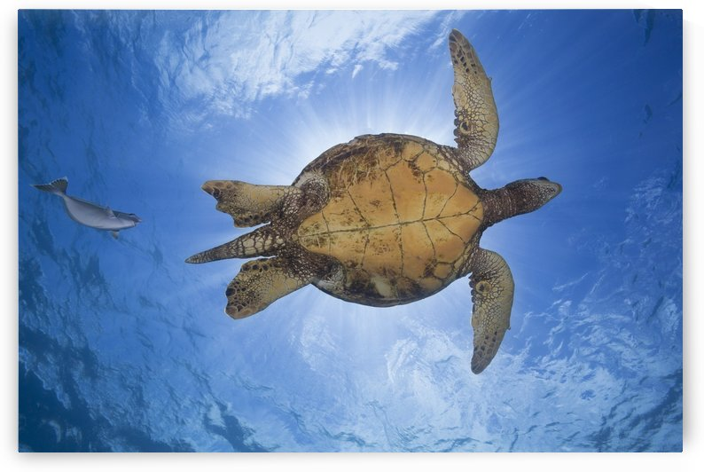This male green sea turtle (Chelonia mydas), an endangered species, is being followed closely by a spotted unicorn fish (Naso brevirostris); Hawaii, United States of America by PacificStock