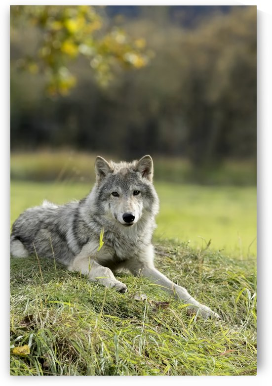 Female Gray Wolf (canis lupus), captive, Alaska Wildlife Conservation Center; Portage, Alaska, United States of America by PacificStock