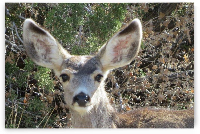 Mule Deer 5VP by Vicki Polin