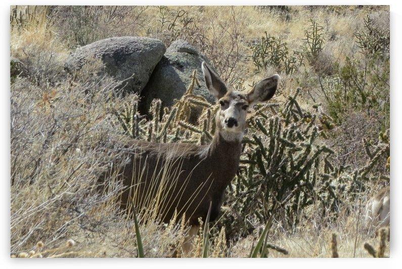 Mule Deer 3VP by Vicki Polin