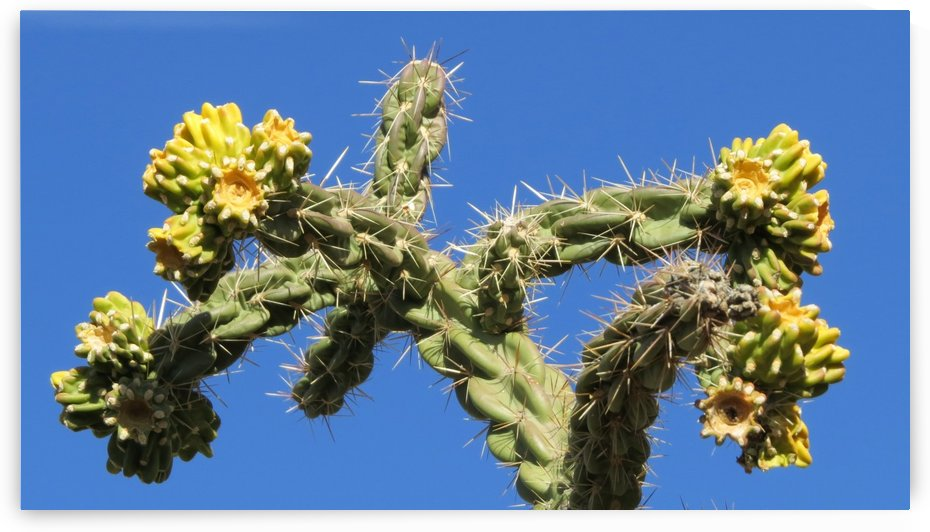 Cactus in bloom by Vicki Polin