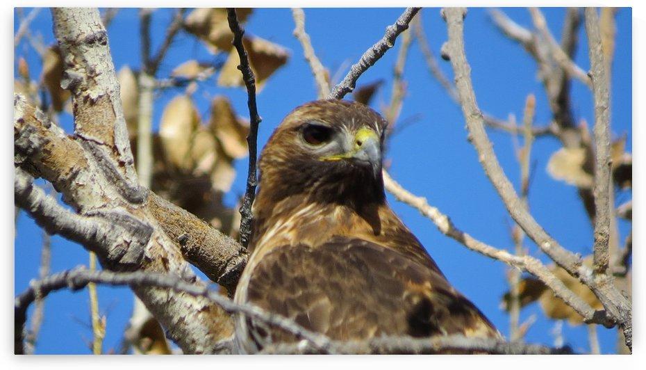 Golden Eagle VP3 by Vicki Polin
