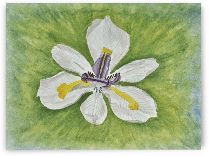 White Iris by Linda Brody