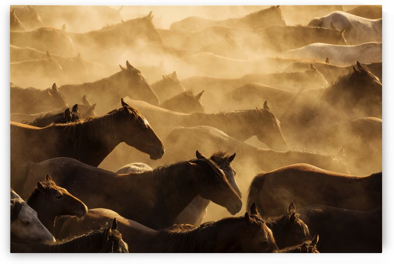 Wild horses running at sunset in dust by MIRICA DAN-ALEXANDRU