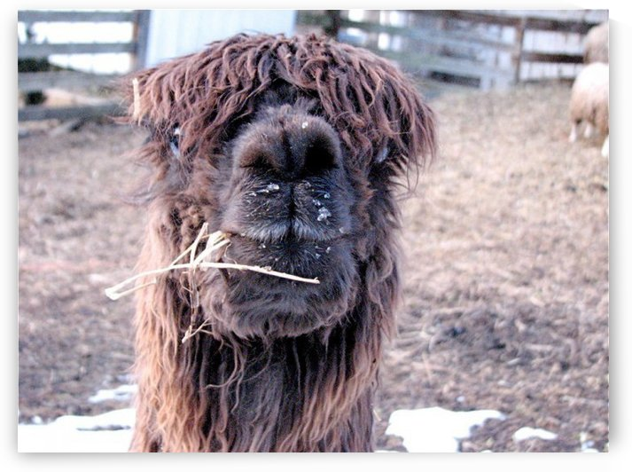 Alpaca in Maryland VP1 by Vicki Polin