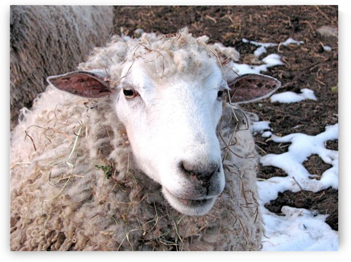 Lamb in the Winter VP1 by Vicki Polin