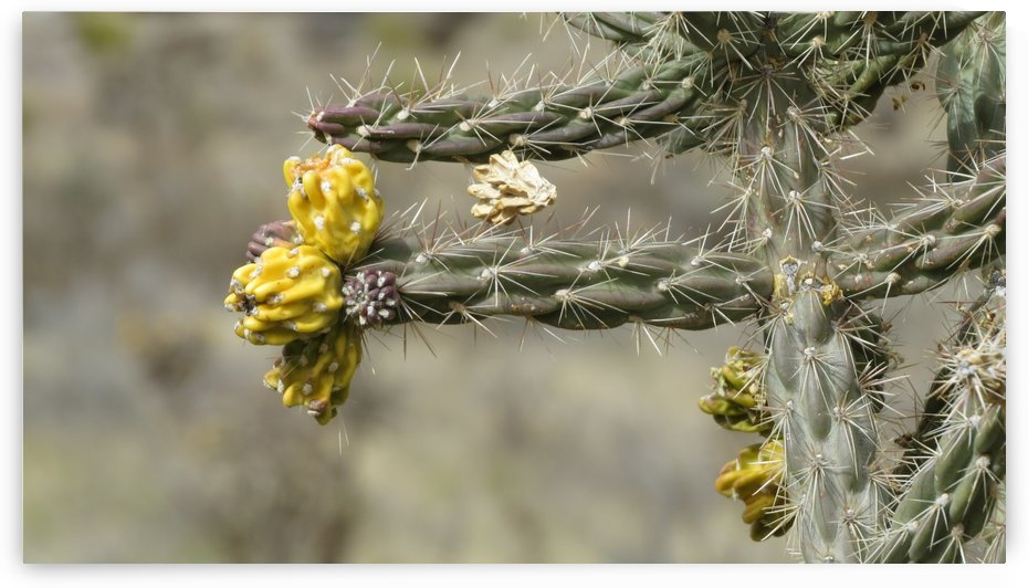 Cactus in the Sandia Mountains VP2 by Vicki Polin