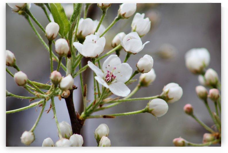 Flowering Tree by Don  Baker