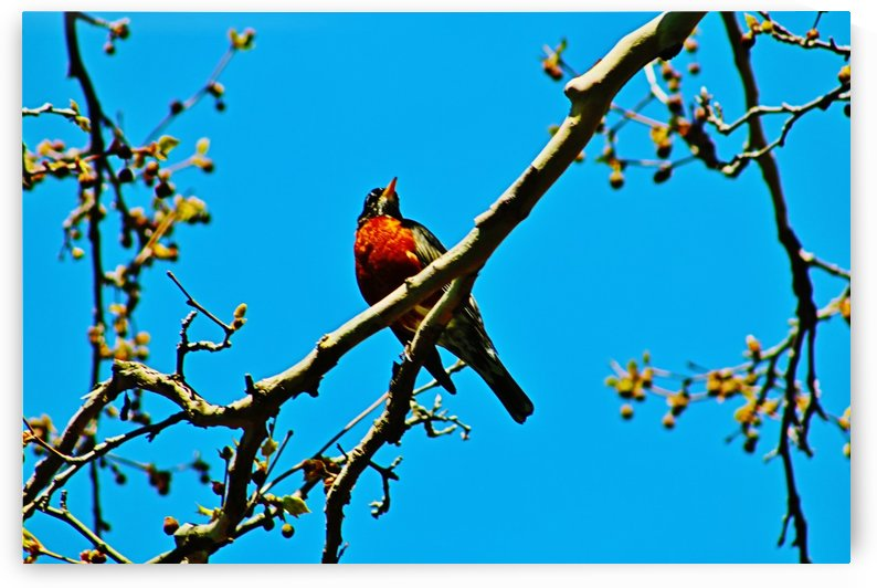 Singing Robin by Don  Baker