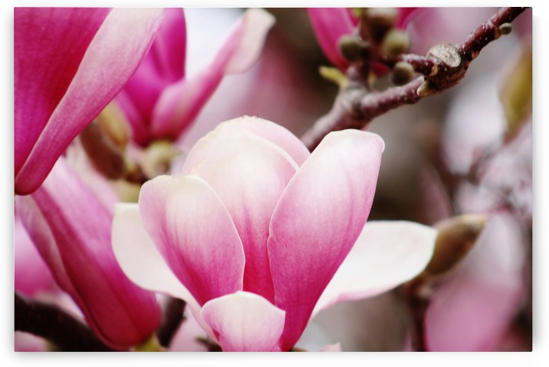 Magnolia by Don  Baker
