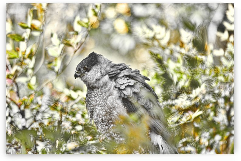 Cooper's Hawk Abstract 1 by Linda Brody